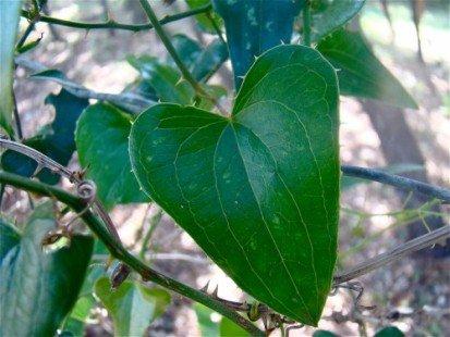 La salsepareille, une plante méconnue aux multiples atouts santé !