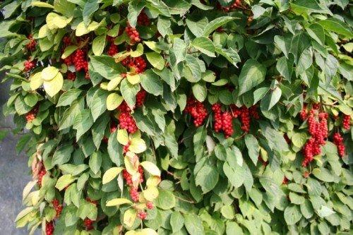 Le schisandra chinensis, une plante au service de la santé