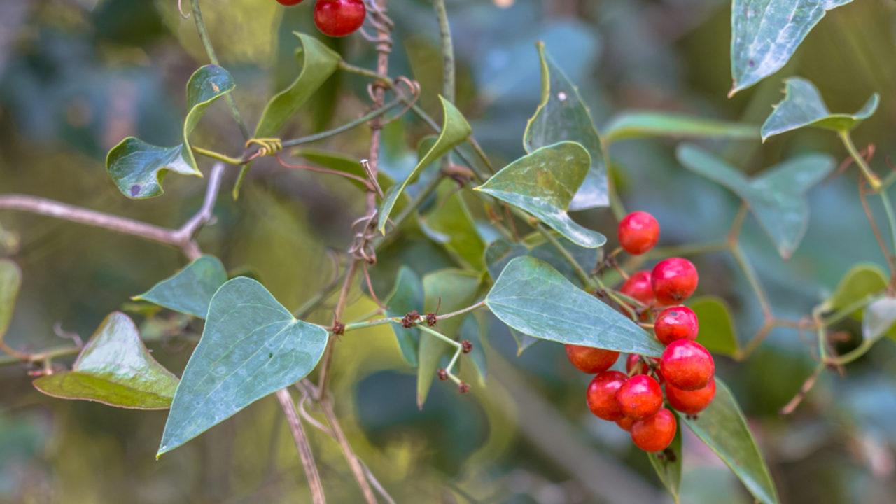 Salsepareille, une plante méconnue aux multiples atouts santé !
