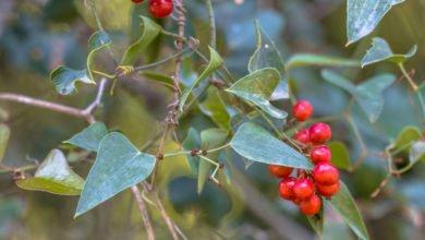 Photo of Salsepareille : une plante méconnue aux multiples atouts santé