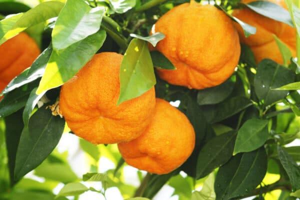 oranger amère