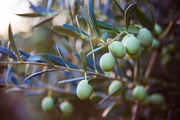 La feuille d'olivier