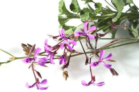 Les merveilles de l'huile essentielle de géranium rosat