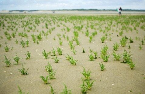 La salicorne, le raffiné légume de la mer