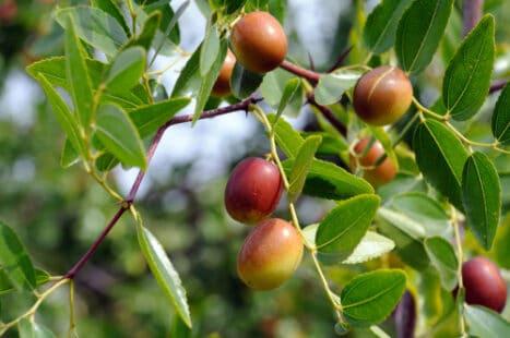De beaux fruits encore sur l'arbre