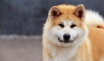 Akita Inu : une adorable race de chien japonais