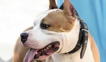 American Staffordshire Terrier : mode de vie, caractère, prix et conseils