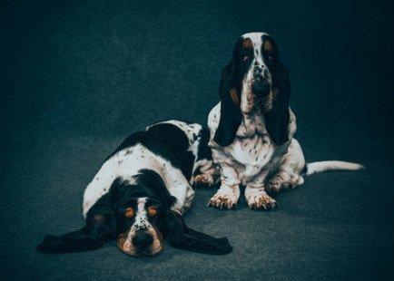 Basset hound : mode de vie, caractère, prix et conseils