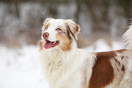 Photo of Berger australien ou Australian Shepherd : un compagnon affectueux