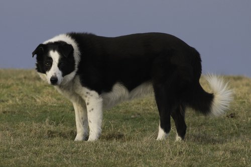 Photo of Le Border Collie, à la fois sportif et intelligent !