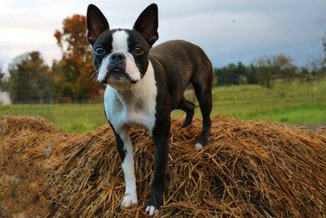 Boston terrier ou Terrier de Boston : caractéristiques de cette race de chien