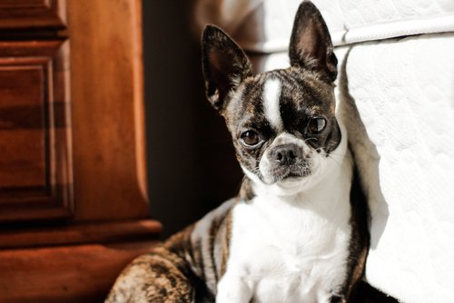 Photo of Boston terrier ou Terrier de Boston : un molosse miniature !