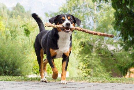 Race de chien : Bouvier suisse