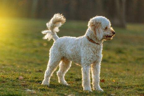 Race de chien : Caniche