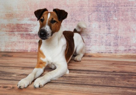 Race de chien : Fox-Terrier