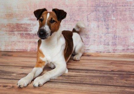 Race de chien : Fox-Terrier