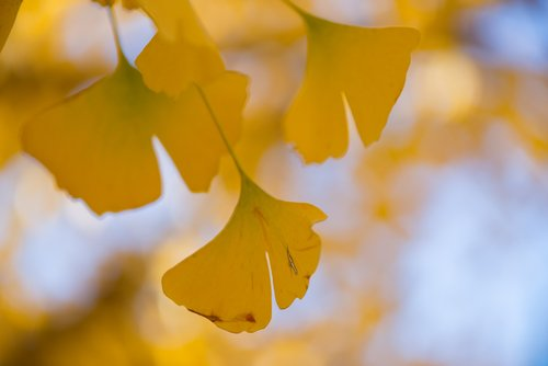 Bienfaits Ginkgo Biloba - Comment favoriser l'attention et la mémoire de votre ...
