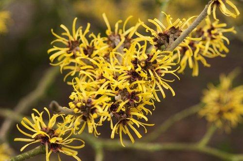 L'hamamélis : un arbuste plein de vertus !