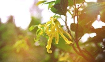 Tout savoir sur les merveilles de l'huile essentielle de ylang ylang complète