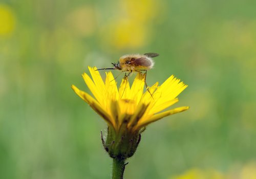 La piloselle, la petite fleur qui élimine et nettoie