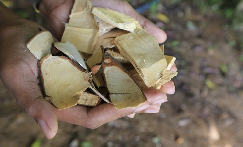 Le Tongkat Ali, l'arbre de la libido (mais pas que)
