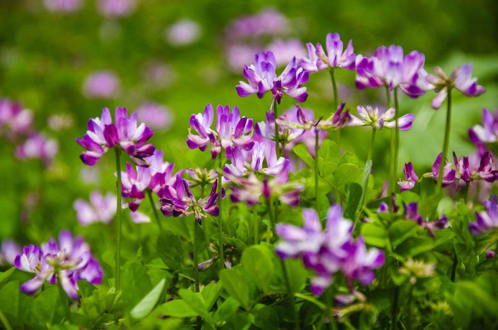 fleur d'astragale au printemps