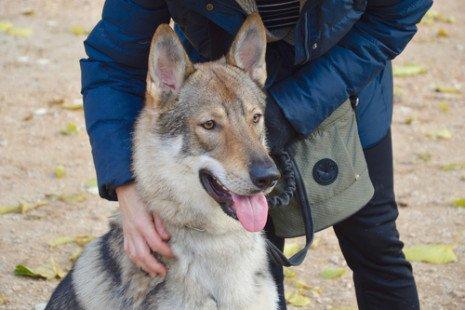 Le chien loup tchécoslovaque : caractéristiques, mode de vie et conseils