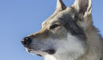 Chien loup : mieux connaitre cette race de chien