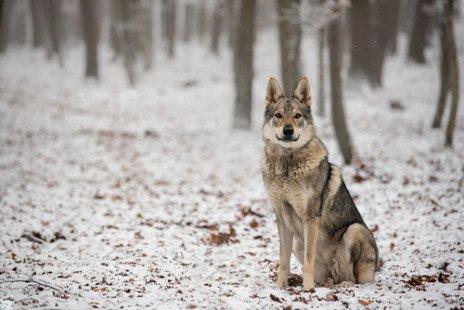 Chien loup : tout sur cette race de chien