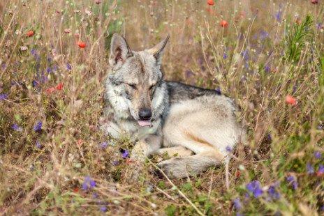 Chien loup de Saarloos : mode de vie et caractéristiques