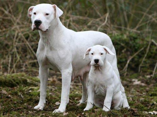 Dogue argentin: un molosse au cœur tendre
