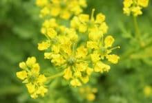 Fleurs jaunes de Ruta graveolens