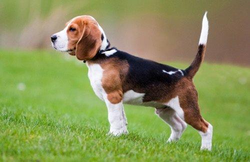 Le « Beagle » : t'as de beaux yeux, tu sais !