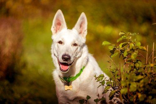 Photo of Berger Blanc Suisse : un chien élégant, dévoué à son maître