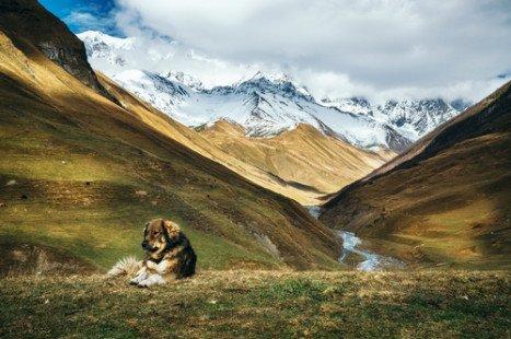 Berger du Caucase