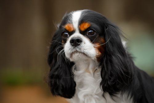 Photo of Cavalier King Charles Spaniel : adorable et sociable !