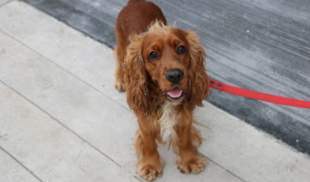 Cocker spaniel : un chien plein de joie et d'entrain