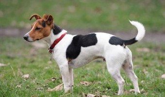 Le Jack Russell terrier, une joyeuse boule élastique