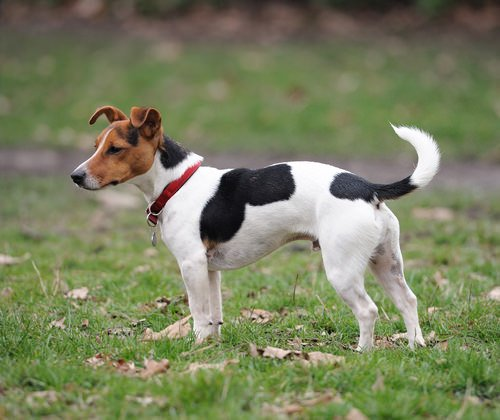 Photo of Le Jack Russell terrier, une joyeuse boule élastique