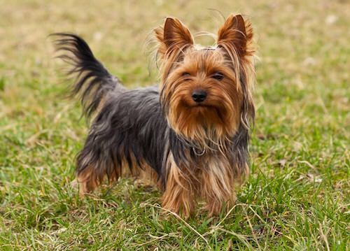 Photo of Le Yorkshier terrier, un péché mignon sur pattes