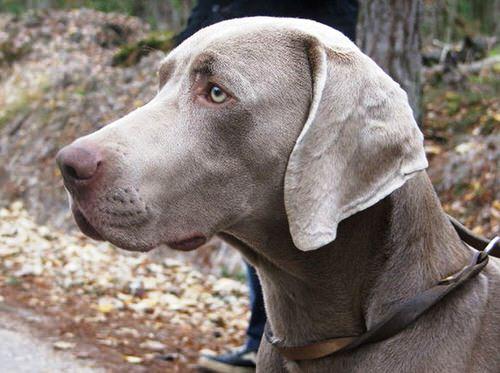 Le braque de Weimar, l'élégance faite chien