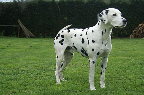 Dalmatien: un chien élégant et actif
