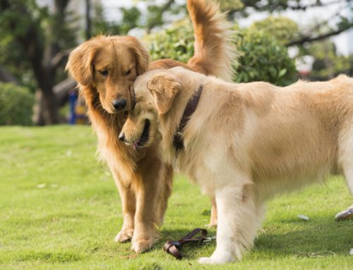 Golden Retriever est un peu le chien parfait : le « chien en or »