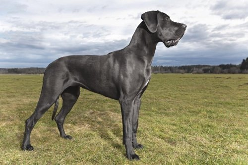 Photo of Le Dogue allemand, l'Apollon de la gent canine