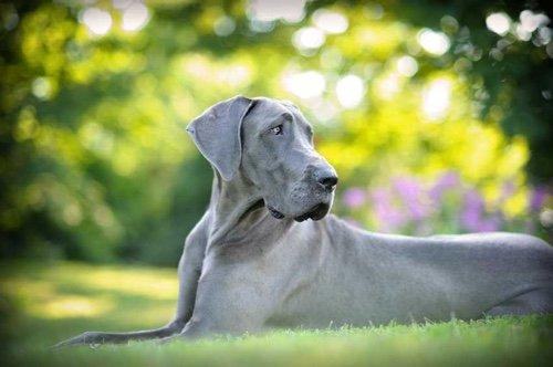 Le Dogue allemand, l'Apollon de la gent canine