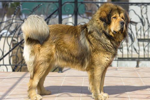 Le Dogue du Tibet, totalement mythique