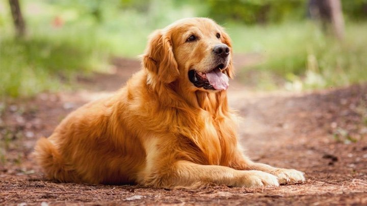 Le Golden Retriever, un chien en or
