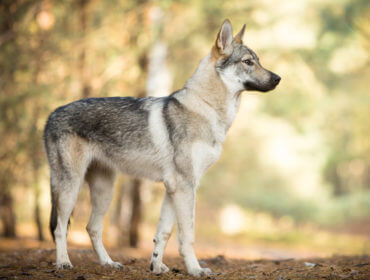 Fantastique Chien loup tchécoslovaque : un chien fidèle et très sensible YJ-18