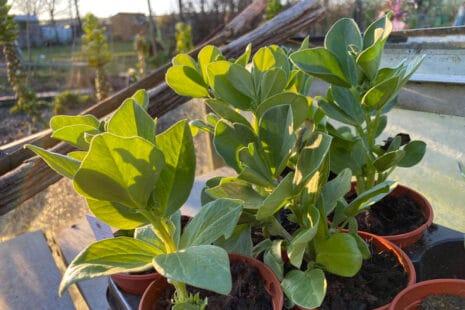 Que faire pousser en février dans votre potager ?Plants de fèves en godet