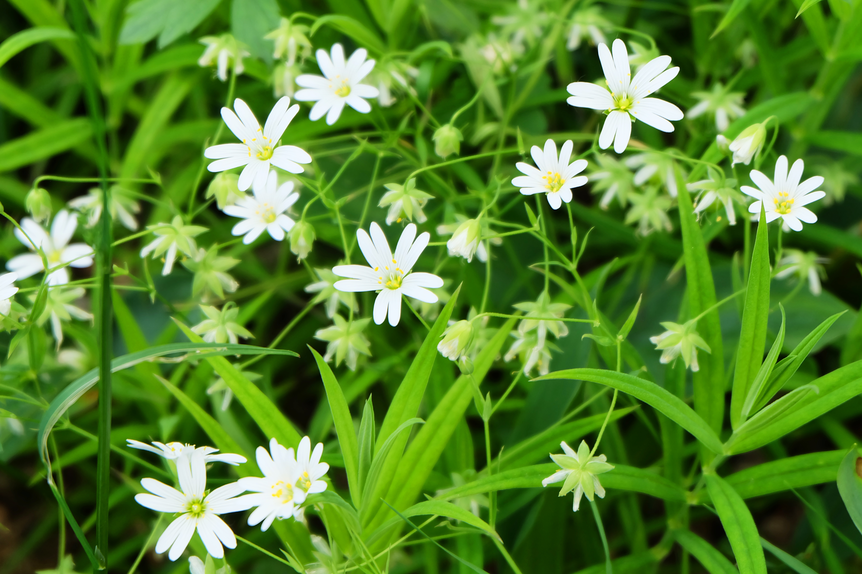 Plantes sauvages comestibles 12 plantes cuisiner - Cuisiner les plantes sauvages ...